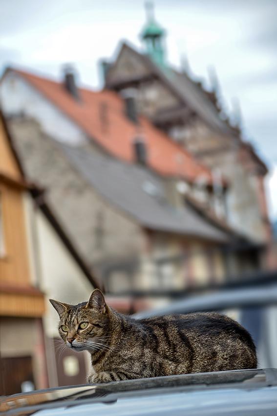 Altstadt-Tiger
