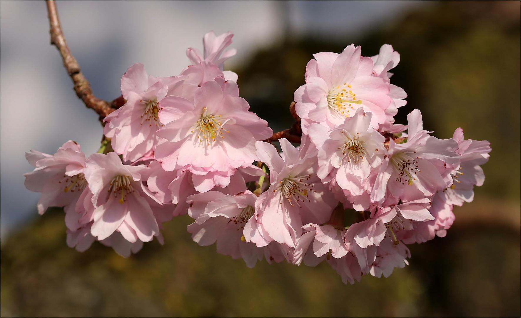 Am 18.03.2020! - Japanische Blütenkirsche (Prunus serrulata).