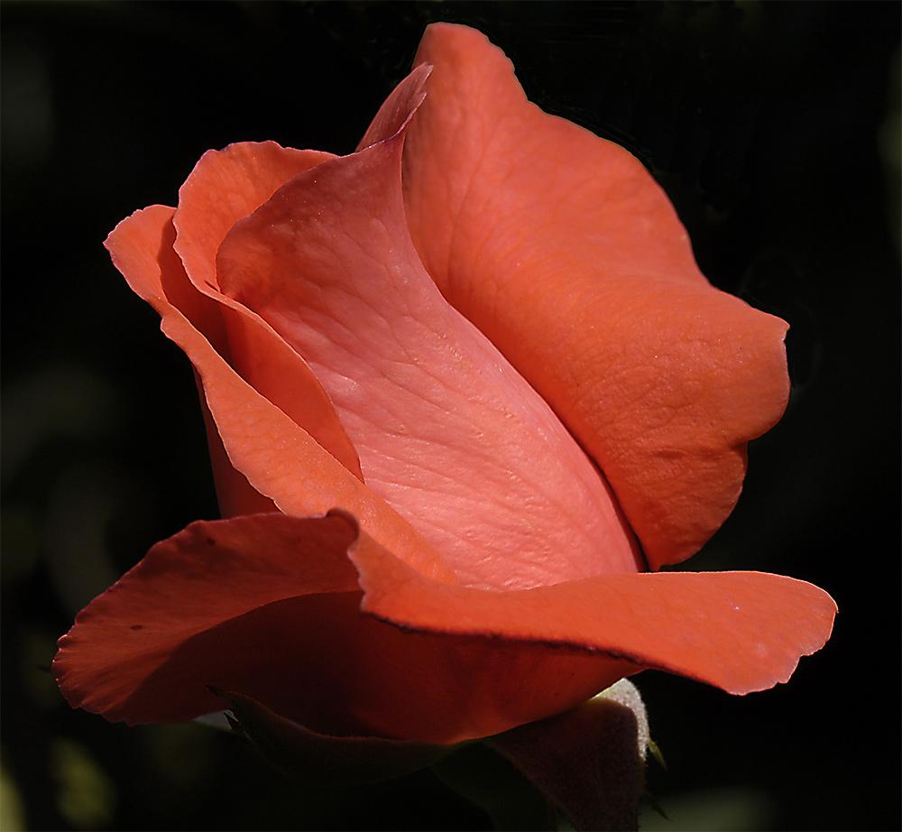 ...am Anfang der Blüte....