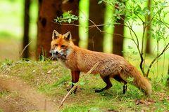 Am Fuchsbau 1 - Die Fähe bringt Mäuse für ihre Jungfüchse