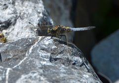 Am Gartenteich 3 - Libelle