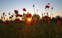 Am Montag ein Sonnenaufgang am Mohnfeld