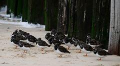 Am Nordseestrand bei Domburg (NL, Zeeland) hat sich ein Trupp Steinwälzer niedergelassen...
