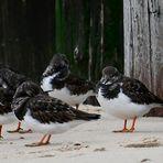 Am Nordseestrand bei Domburg (NL, Zeeland) hat sich ein Trupp Steinwälzer niedergelassen.