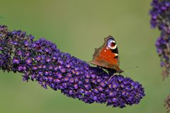 Am Schmetterlingstrauch