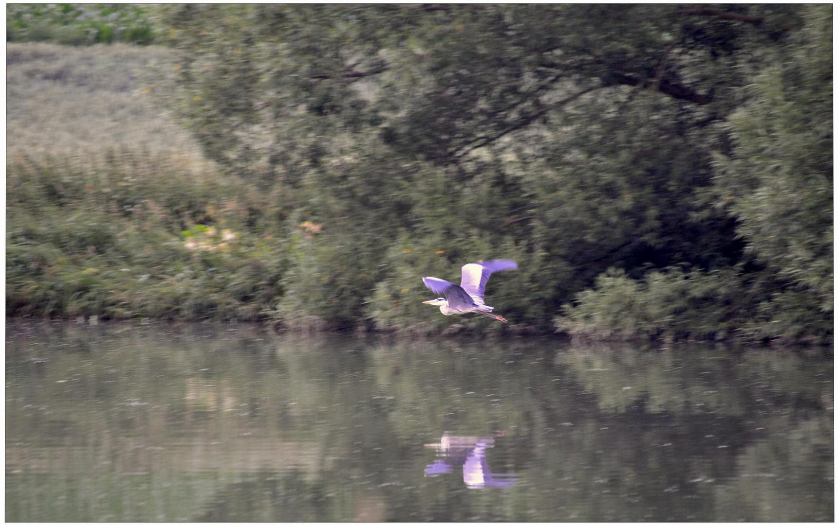 Am See, Fischreiher (en el lago, garza)