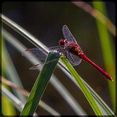 am Seerosenteich, rote Heidelibelle