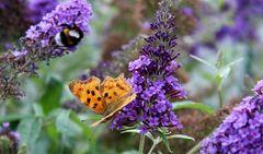 am Somerflieder treffen sich alle möglichen Schmetterlinge