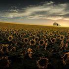 Am Sonnenblumenfeld