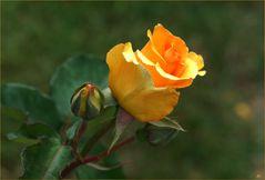 Am WE... eine Rose für Euch