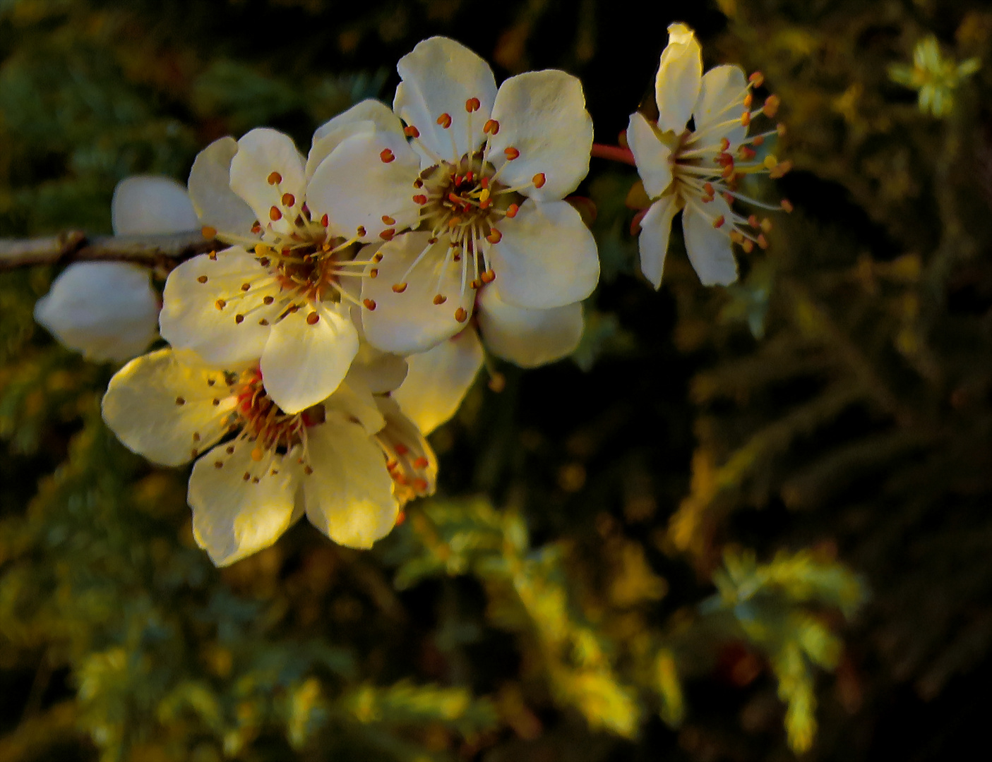 am Weg : Kirschblüte's erste kurze Morgensonne, denn :