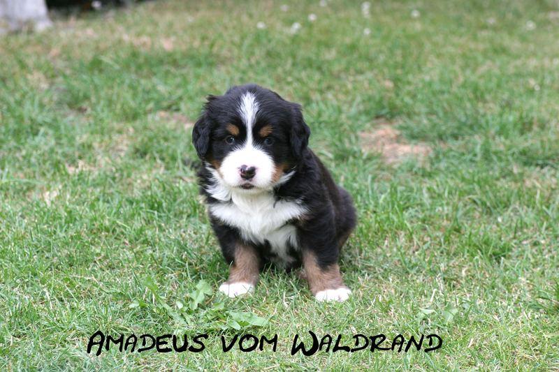 Amadeus vom Waldrand