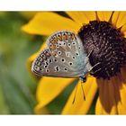 Amanda's blue - Agrodiaetus amanda - Gemeiner Bläuling