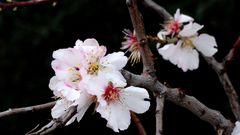 Amandier en Fleurs - Mandel blüht à Antibes 9 février 2016