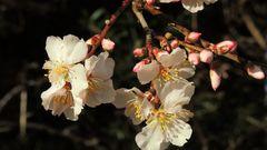 "Amandier en Fleurs - Mandel Blumen ""La Garoupe"" Antibes"