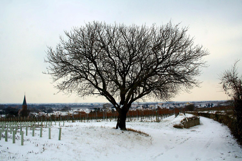Amandier en hiver