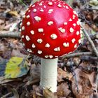 Amanita muscaria - Fliegenpilz - Amanite tue-mouches - Fly fungus