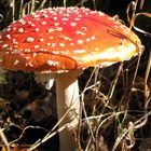 Amanita muscaria in autumn light