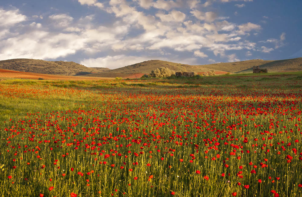 Amapolas en La Mancha