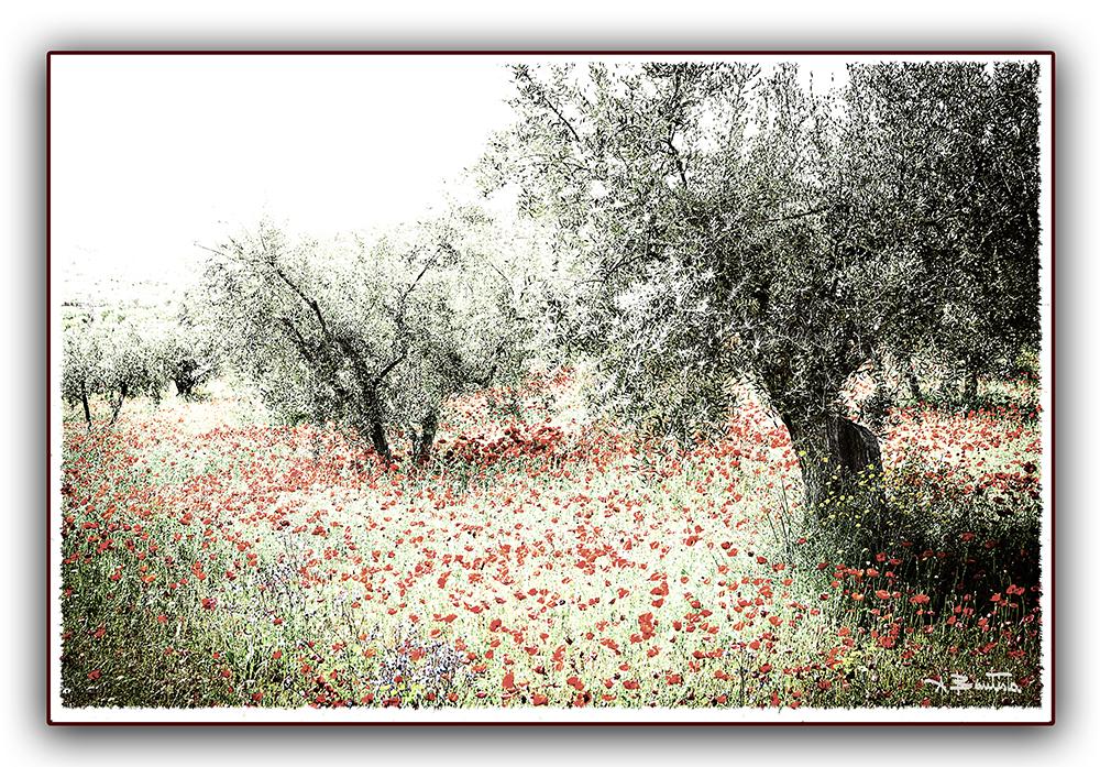 amapolas y oliveras