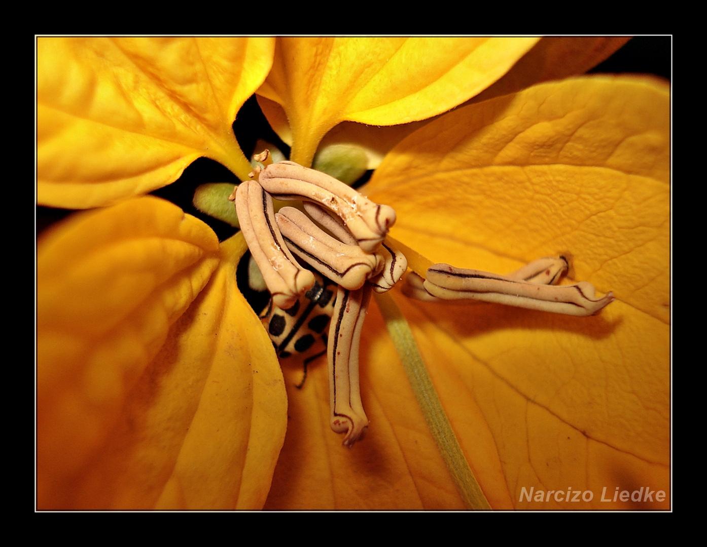 Amarela X - Joaninha Escondida