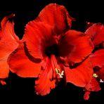Amarilis flower