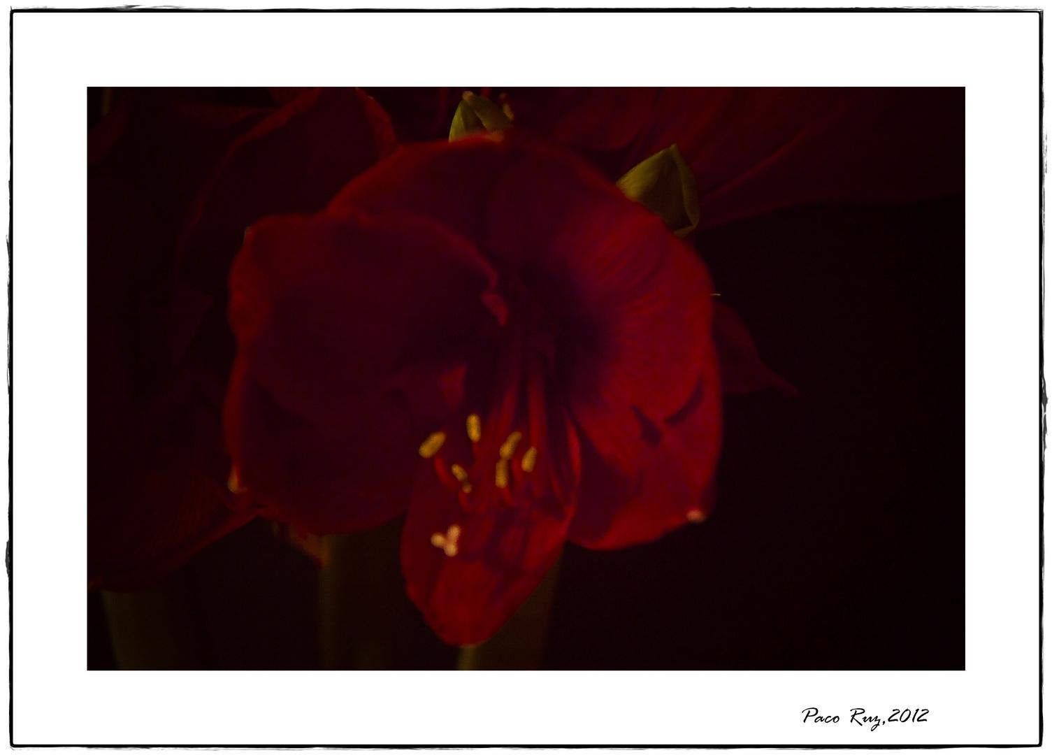 Amarilis Roja