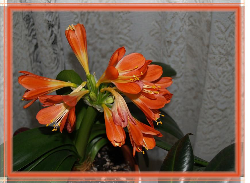 Amarillis - unser Frühlingsbote