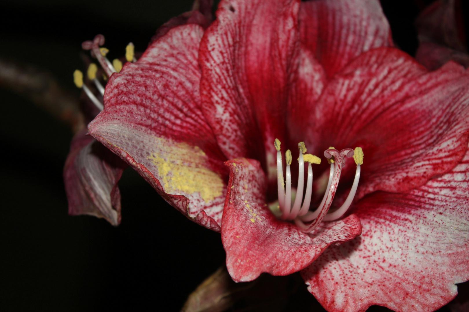 Amaryillisblüte