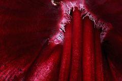 Amarylis Detail