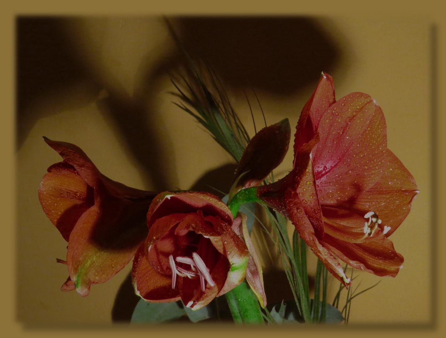 """Amarylli (""""Ritterstern"""") - erstmal Wasser auf die Mütze,"""