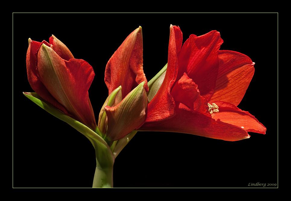 amaryllis 11 foto bild pflanzen pilze flechten bl ten kleinpflanzen gartenpflanzen. Black Bedroom Furniture Sets. Home Design Ideas