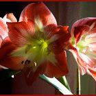 Amaryllis 13.03.2008