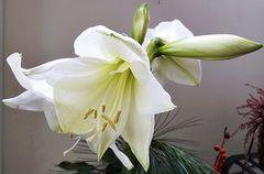 Amaryllis als Mittwochsblume