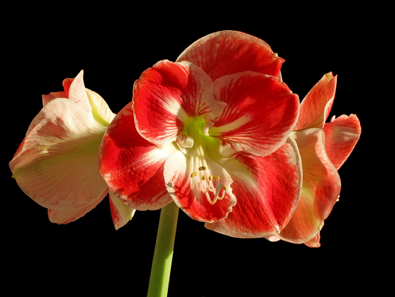 Amaryllis-Blütenkopf ...