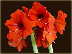 Amaryllis: Blütenwunder aus der Zwiebel