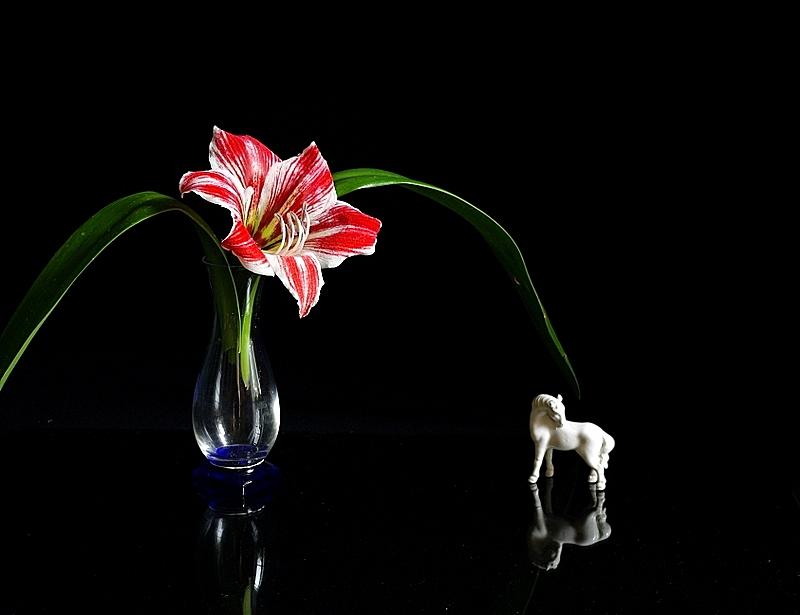 Amaryllis e cavallino bianco