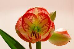 Amaryllis Exotic Striped