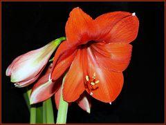 Amaryllis--- heute aufgeblüht...