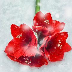 Amaryllis im Schnee