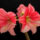 Amaryllis in voller Blüte
