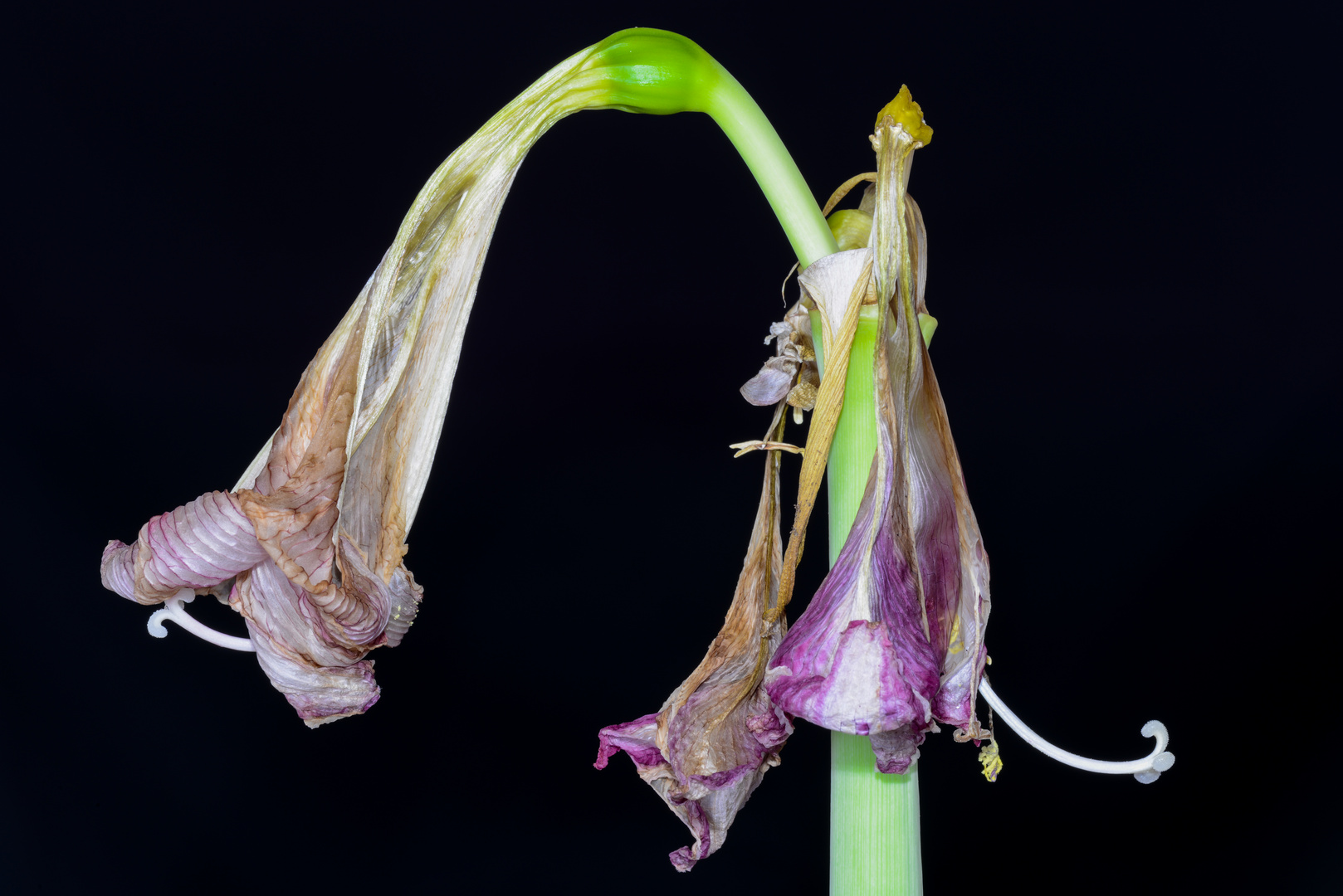 Amaryllis oder Ritterstern