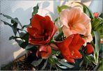 Amaryllis-Schönheiten