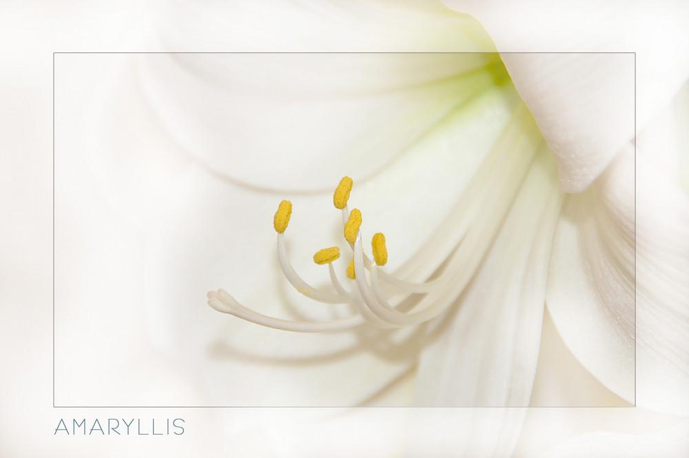 Amaryllis weiß 3