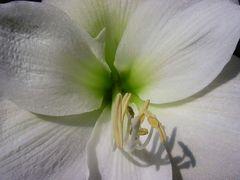 Amaryllis weiß