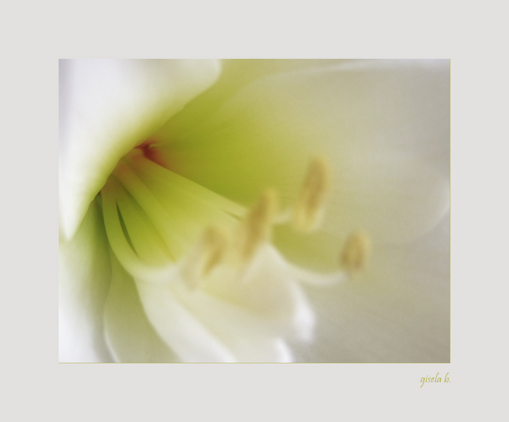 Amaryllis - zart