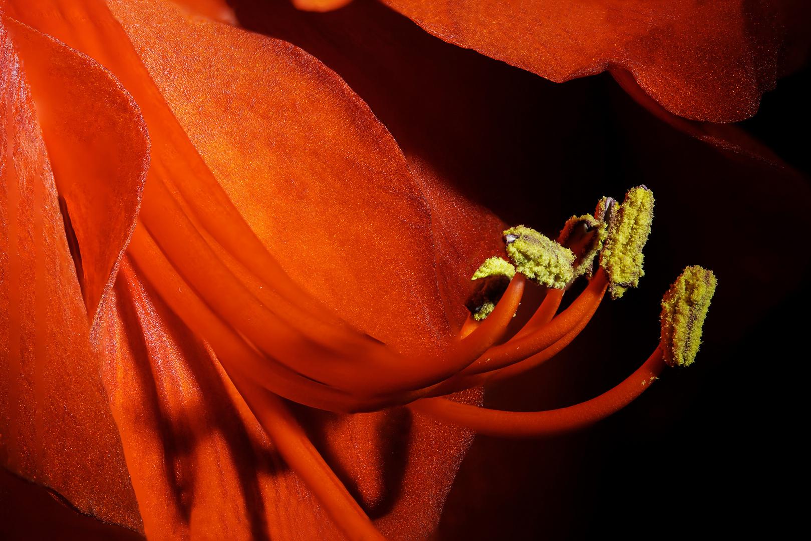 Amaryllisblüte von der Seite
