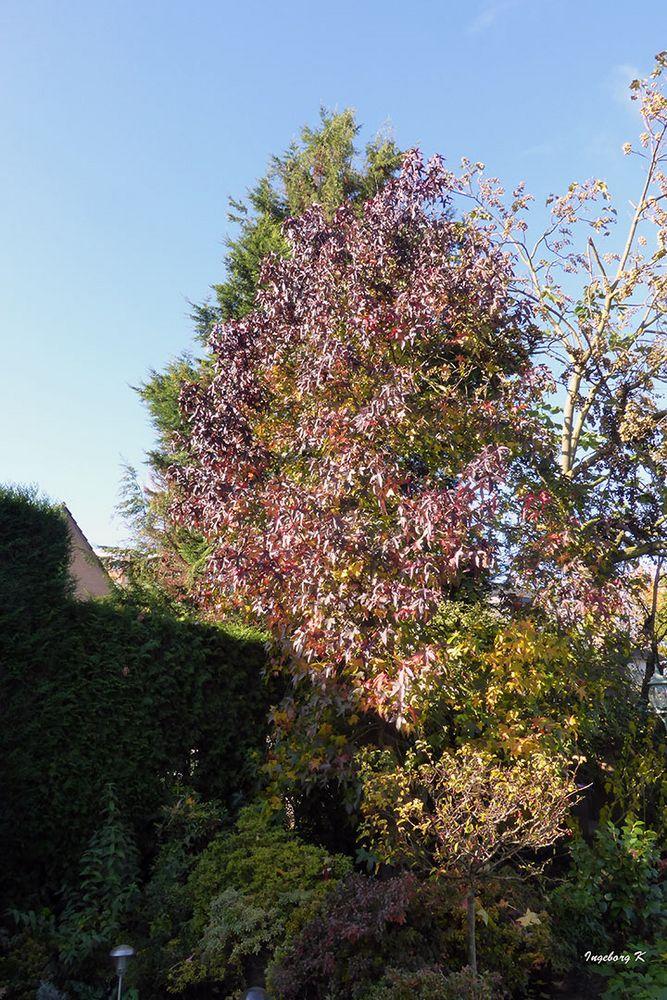 Amberbaum in meinem Garten am 19.11.2017