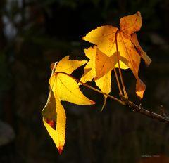 Amberbaumlblätter im Herbst