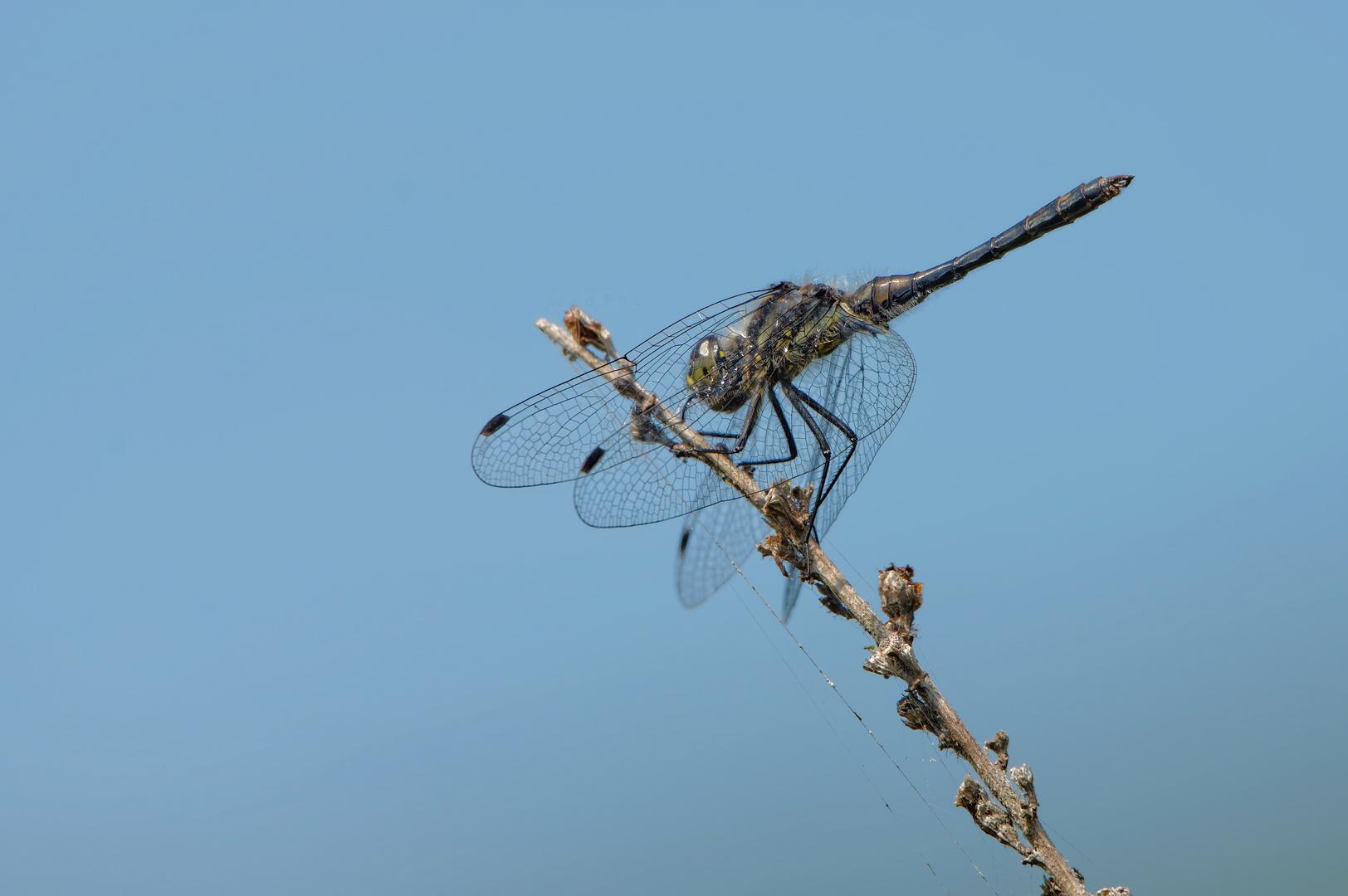 Ambitionierte Libelle